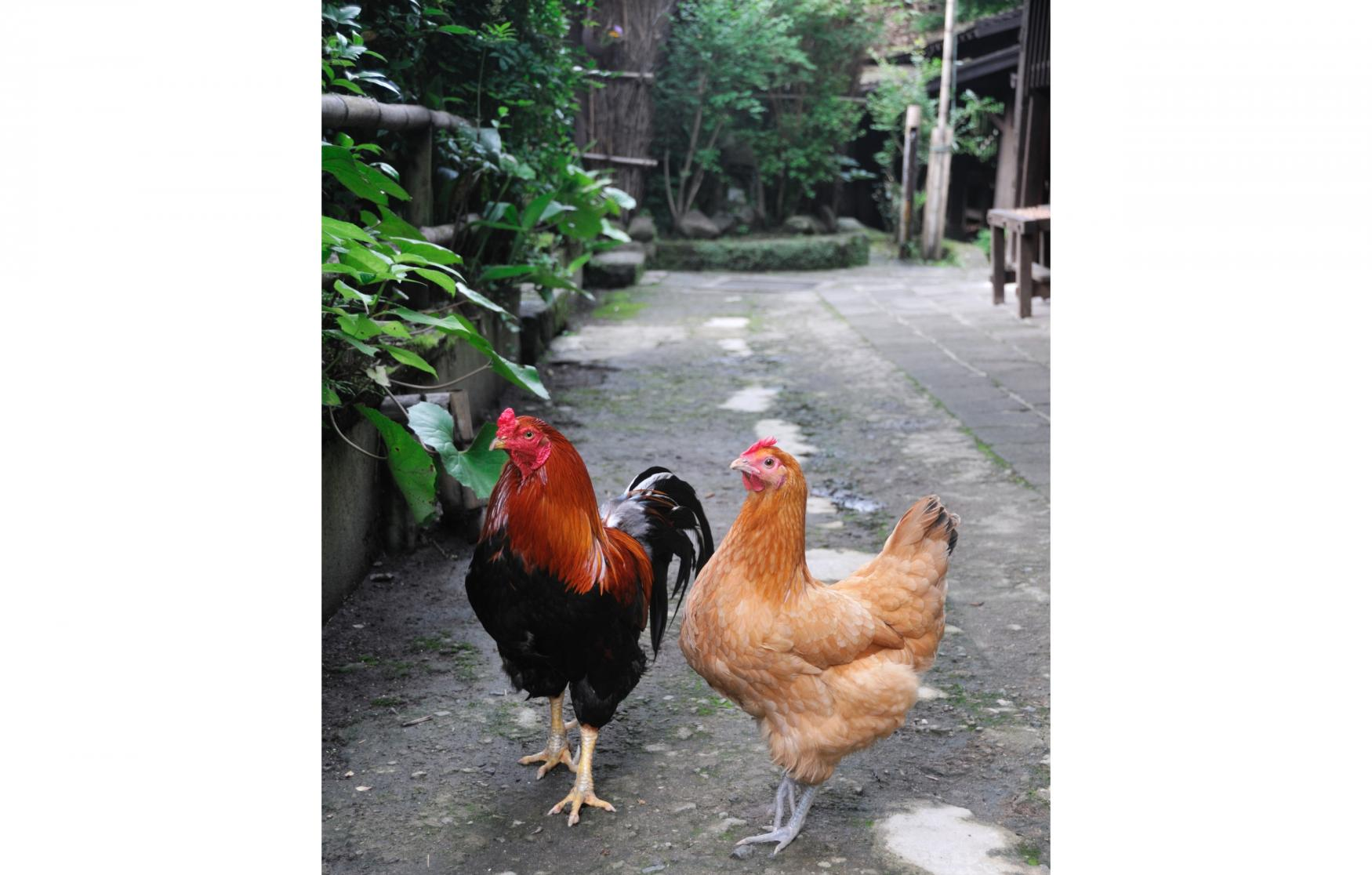 鹿児島のブランド地鶏の秘密は天然記念物の薩摩鶏-1