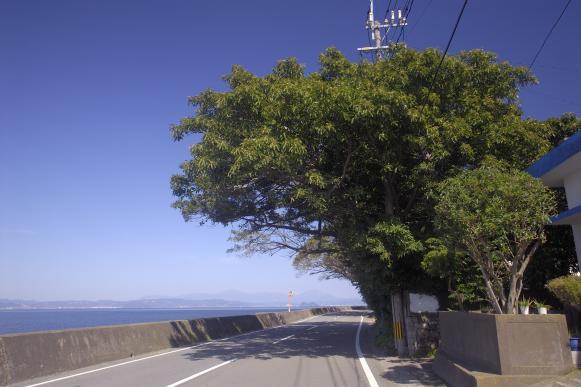 藤野アコウ群-4