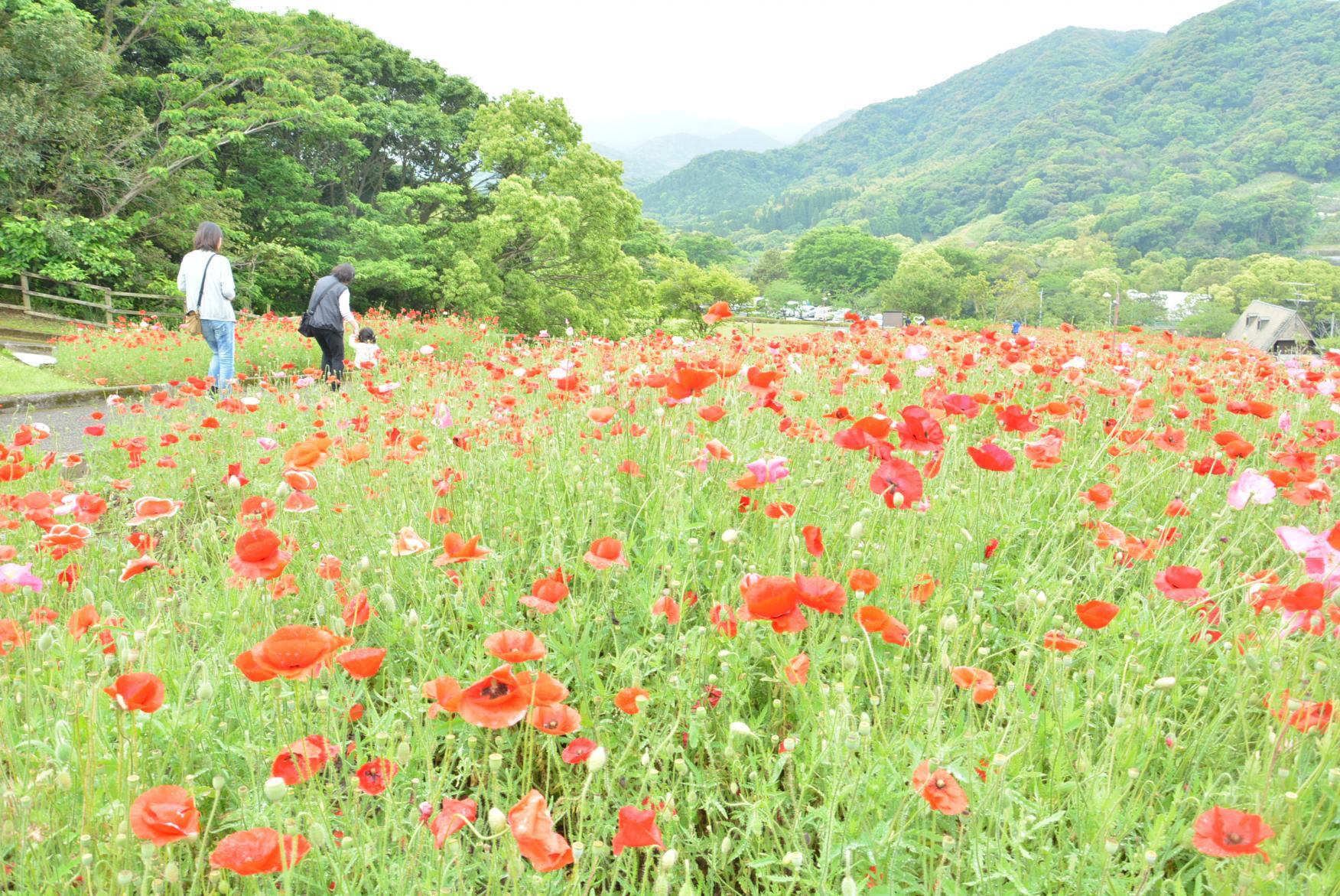 錦江湾公園はなまつり-8