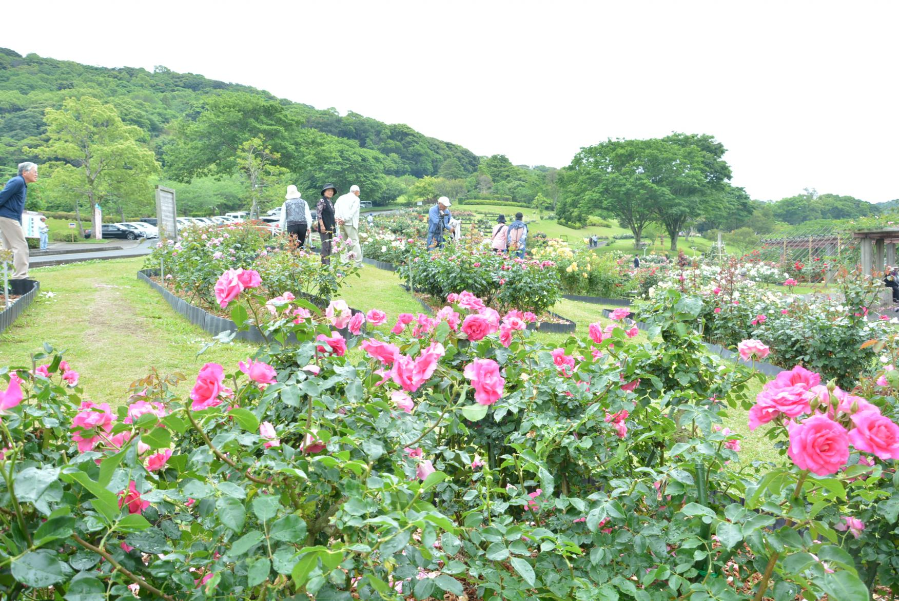 錦江湾公園はなまつり-6