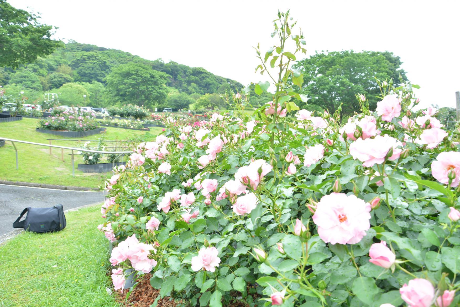 錦江湾公園はなまつり-5