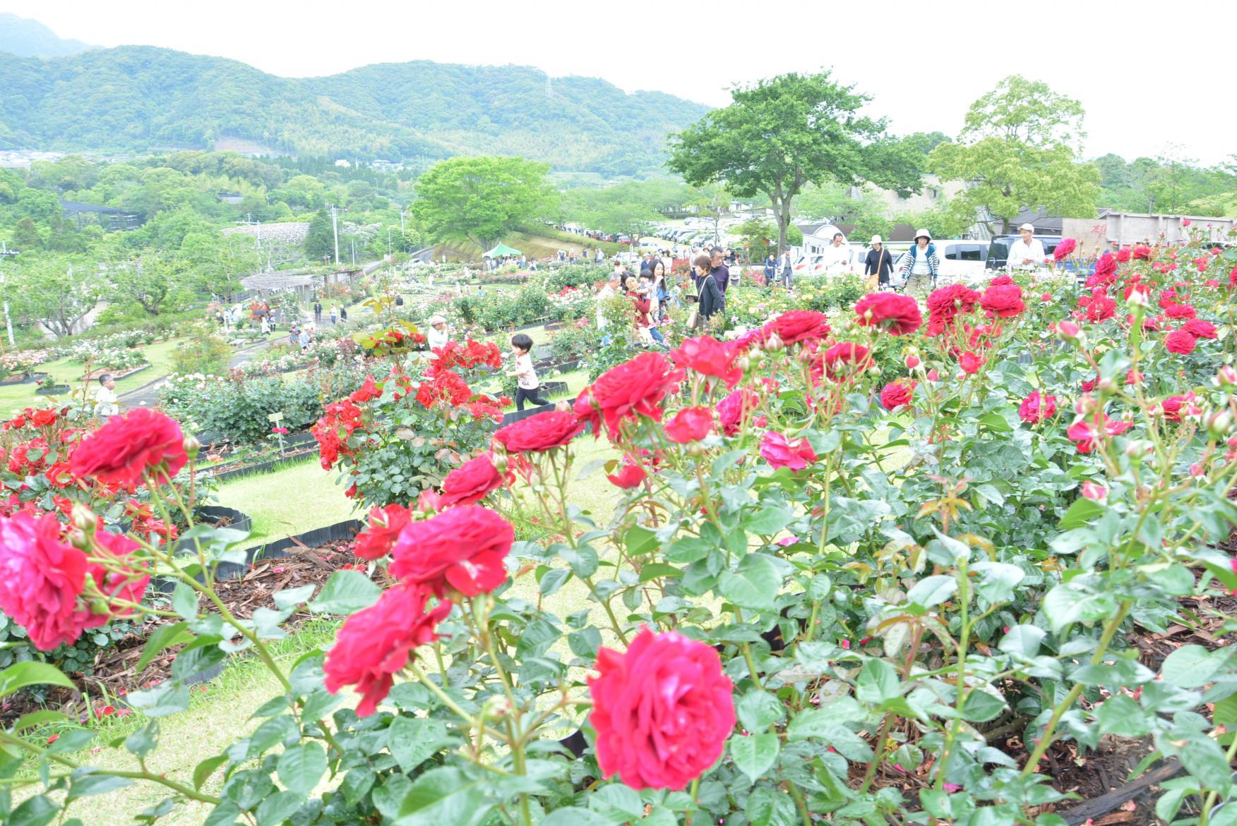錦江灣公園花祭-1