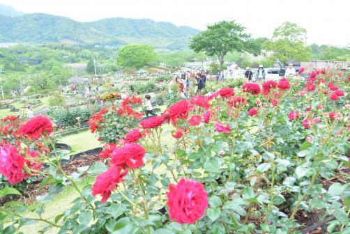 錦江湾公園はなまつり-0