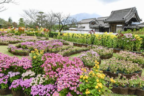 仙巌園 菊まつり-3
